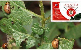 콜로라도 감자 벌레에서 Apache 품종을 만드는 방법