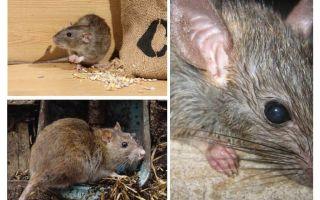 쥐가 인간을 공격 할 수 있는가?