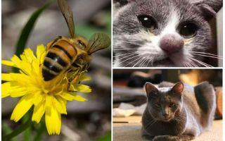 고양이가 벌에 물린 경우 어떻게해야합니까?
