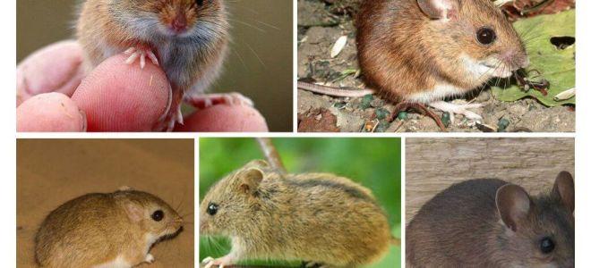 생쥐의 종류와 종류