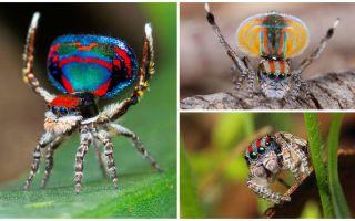 공작 거미의 묘사와 사진