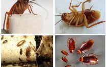 바퀴벌레의 모습, 사진, 종류 및 설명