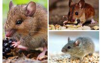 어떤 쥐가 먹는가?