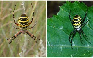 뒷면에 노란색 줄무늬가있는 거미 말벌