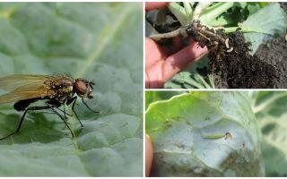 양배추와 그것의 애벌레를 다루는 방법