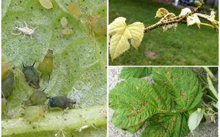 라스베리에 진딧물을 제거하는 방법