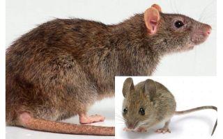 마우스와 쥐의 차이점은 무엇입니까?