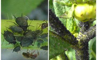 토마토와 오이에 검은 진딧물을 다루는 법
