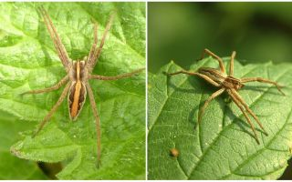 사라토프 지역 거미의 묘사와 사진