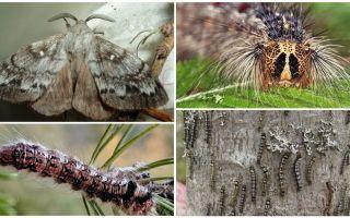 시베리아 누에의 애벌레와 나비의 묘사와 사진