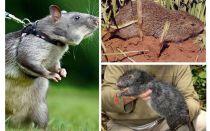 세계에서 가장 큰 쥐