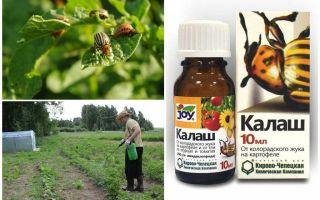 콜로라도 감자 딱정벌레에서 나온 칼라 쉬 (Kalash)를 의미합니다.