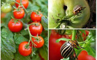 콜로라도 감자 딱정벌레에서 토마토를 가공하는 법