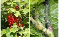 건포도에 진딧물을 제거하는 방법