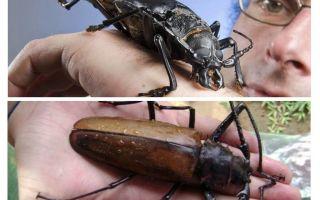 타이탄 나무꾼 딱정벌레