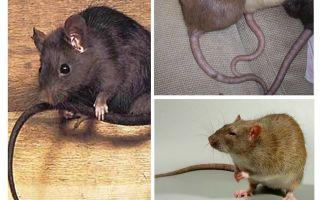 왜 쥐 꼬리를합니까?