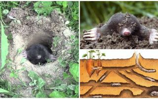 mole mole의 묘사와 사진