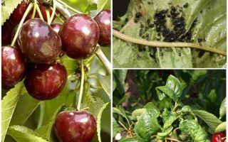 체리와 체리에 진딧물을 제거하는 방법