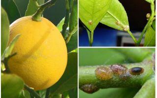 레몬 방패를 다루는 법