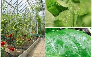 온실에서 진딧물을 다루는 방법