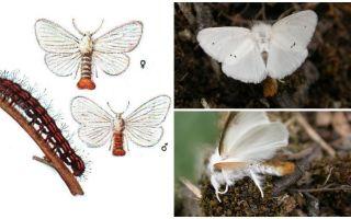 나비 및 유충의 묘사와 사진