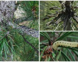 유충에서 어떻게 소나무를 처리 할 것인가?