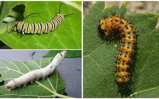 유충, 그들의 음식과 구조에 대한 설명