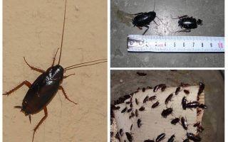아파트에서 큰 검은 바퀴벌레를 없애는 법