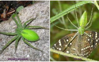 러시아의 녹색 거미