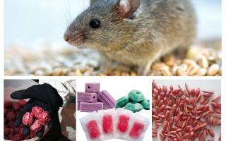 쥐와 쥐를위한 독