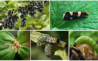 건포도에 유충을 제거하는 방법