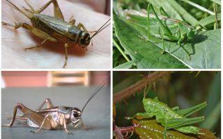 크리켓과 메뚜기의 차이점
