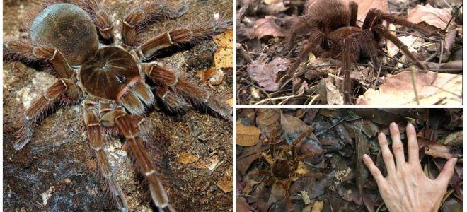 골리앗 새 거미의 묘사와 사진