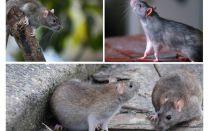 쥐가 몇 년 동안 살았 는가?