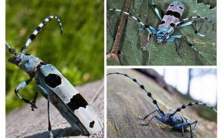 알파인 비틀 딱정벌레