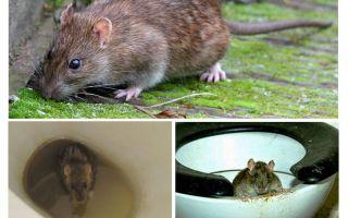 쥐가 화장실에서 나올 수 있습니까?
