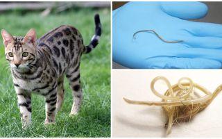 고양이의 ascariasis의 증상과 치료