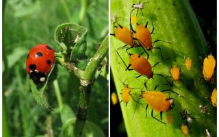 무당 벌레와 진딧물