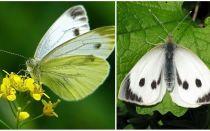 캐터필라와 양배추 나비 묘사 및 사진