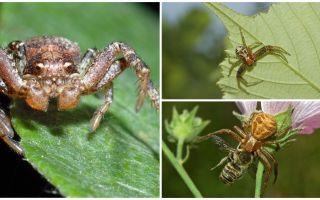 게 거미의 설명과 사진 (비 등몰점 bokhoda)