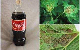 코카콜라에서 진딧물
