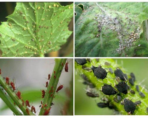 정원과 민속 요법의 정원에서 진딧물을 다루는 법