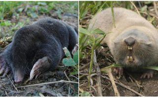 두더지와 두더지 쥐의 차이점은 무엇입니까?