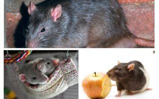 재미있는 쥐 사실