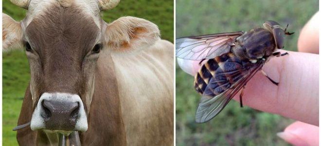 집에서 gadflies와 gadflies에서 암소를 치료하는 방법