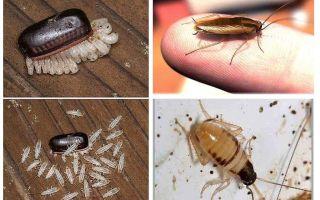 국내 바퀴벌레를 번식시키는 방법