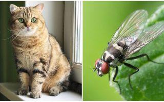 고양이 또는 고양이가 파리를 먹은 경우해야 할 일