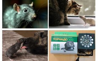 두려운 쥐와 생쥐는 무엇입니까?