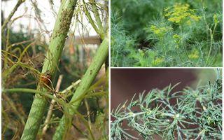 딜에서 진딧물을 없애는 방법과 방법