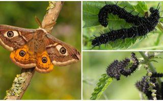 공작의 눈 애벌레에 대한 묘사와 사진